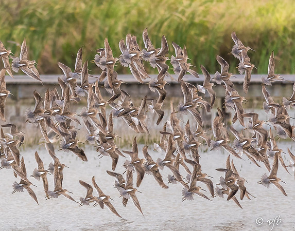 Swirling Long-billed Dowitchers
