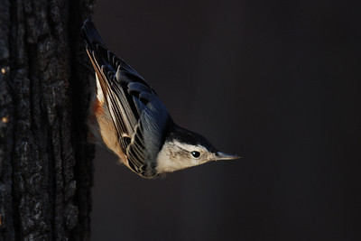 Nuthatch Descending a Maple Tree