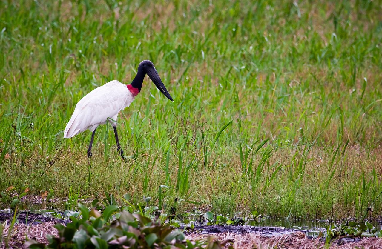 Jabiru stork.<br /> <br /> Location: Los Llanos, Venezuela<br /> <br /> Lens used: Canon 100-400mm f4.5-5.6 IS