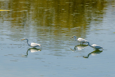 Three Great Egrets and Reflections