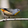 Spotted Pardalote (Pardalotus punctatus), Tallebudgeraba Creek, Burleigh Heads, Queensland.