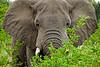 Charging elephant, Kenya
