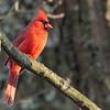 Cardinal 69A6514