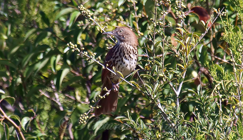 My First Brown Thrasher