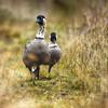 Rarest birds in the world - the Nene
