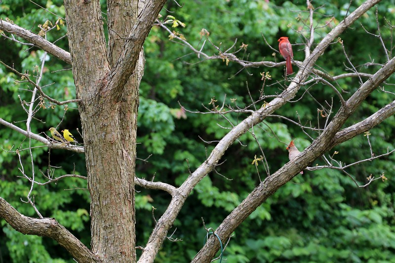 Two Cardinals and 2 Goldfinches