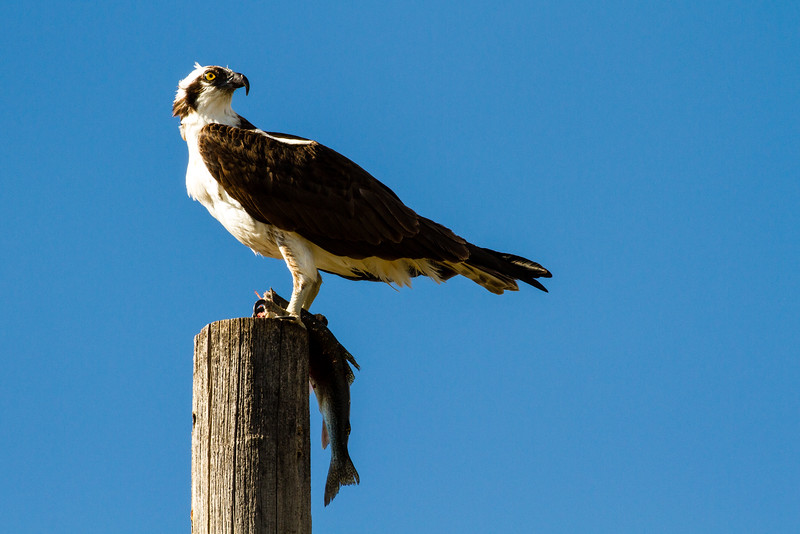 Osprey with rainbow trout