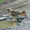 Buteo jamaicensis-Red-tailed Hawk 2
