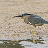 Striated Heron, The Broadwater, Gold Coast, QLD.