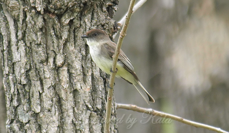 Eastern Phoebe In The Woodlands