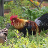 Gallus gallus - Rooster in the garden 2