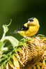American Goldfinch, Spinus tristus