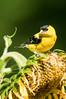 American Goldfinch, Spinus tristus