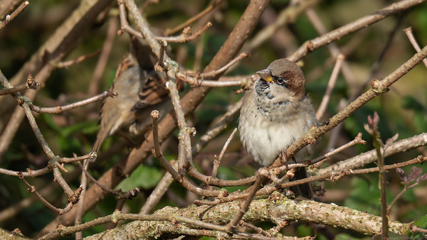 House Sparrow on opposite side of the canal - Newbury