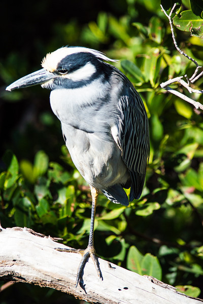 Yellow night crowned heron on One Leg