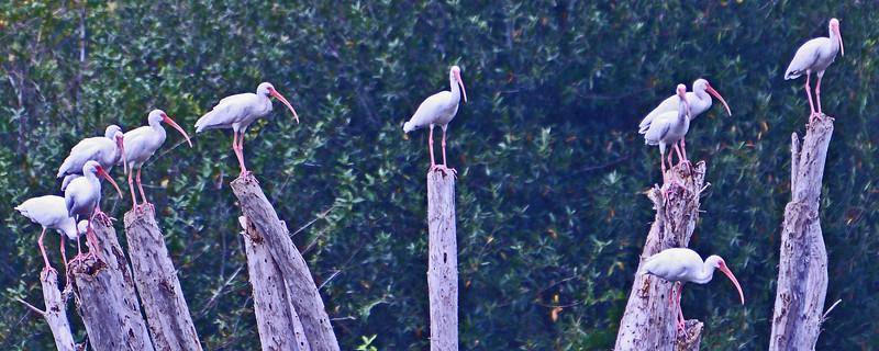 White Ibises find perches.