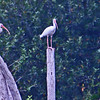 White Ibises find perches.