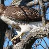 Very Large Hawk