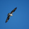 Osprey on the Mendocino Coast, CA