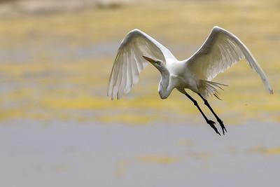 Great Egret, Taking Off from Devereux Slough