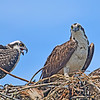 Ospreys in their nest.