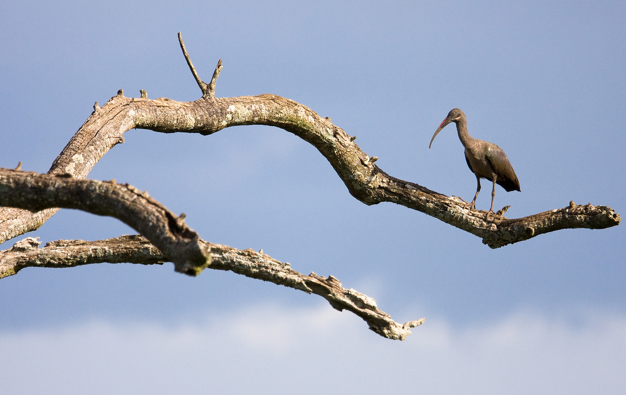 Hadada Ibis.<br /> <br /> Location: Kidepo Valley National Park, Uganda<br /> <br /> Lens used: Canon 100-400mm f4.5-5.6 IS
