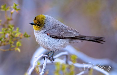 VERDIN - Saguaro National Park