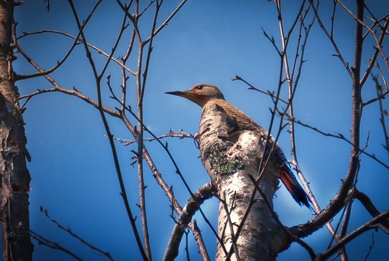 Flicker and Tree