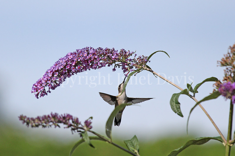 Archilochus colubris – Ruby throated hummingbird on Butterfly Bush 4