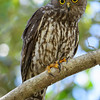Barking Owl (Ninox connivens), Tallebudgeraba Creek, Burleigh Heads, Queensland.