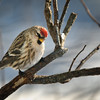 Common Redpoll - Springhill, NS