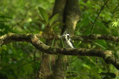 Alcedinidae -  Chloroceryle americana - Green Kingfisher
