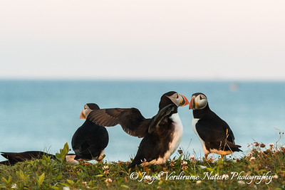 Puffins touching bills (2)