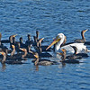 Comorans and White Pelicans flocking together.