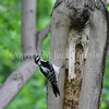 Piccoides villosus – Hairy woodpecker 1
