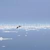 Fulmarus glacialis - Northern fulmar 17