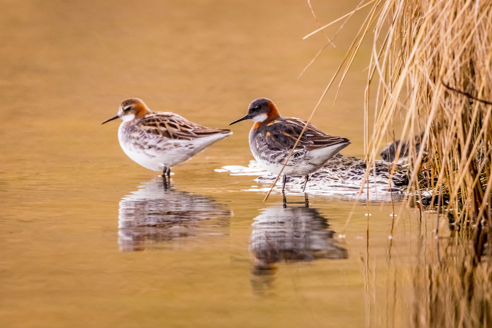 Golden reflections - Red-necked Phalarope, Mývatn, Iceland