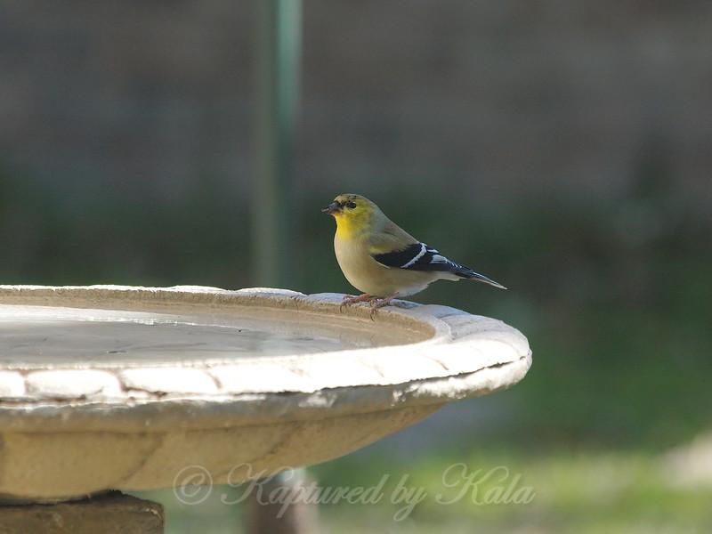 Goldfinch Chillin At The Bird Bath View 1