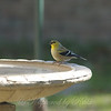 Goldfinch Chillin At The Bird Bath View 1
