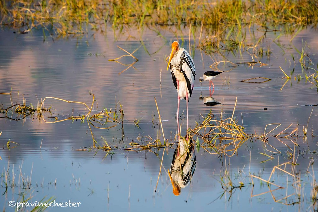 Reflections of a stork