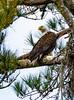 Bald eagle looking left_7341_1-21-20©DonnaLovelyPhotos com