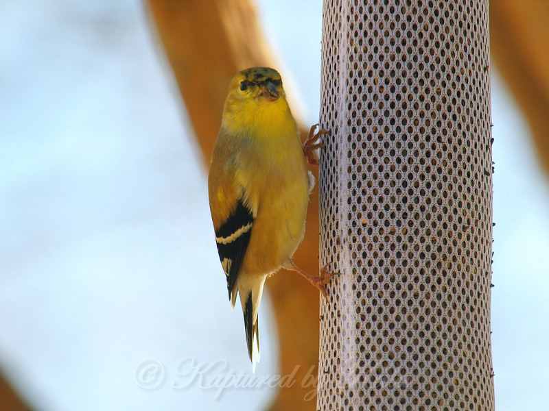 Goldfinch On The Finch Sock