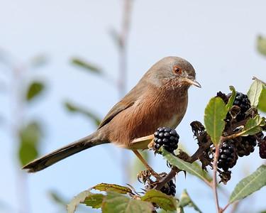 Dartford Warbler feeding on Blackberries 5