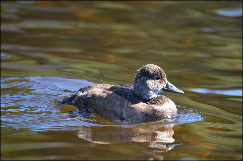 Immature Ring-necked Duck ~ Aythya collaris
