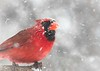 Cardinal in a Minnesota snow storm