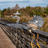 Tricolored Heron (breeding plumage)