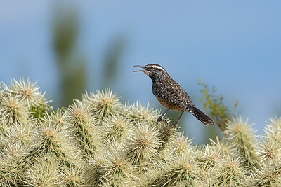 Cactus Wren on Cholla, Lost Dutchman SP, AZ