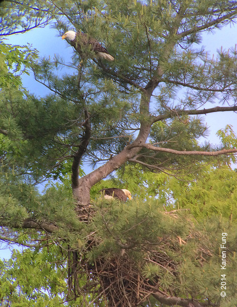 26 May: Bald Eagles in Ulster County (digiscoped)