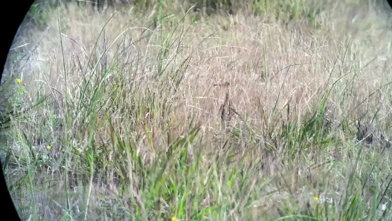 11 August: Upland Sandpiper at Jones Beach West End, in the grassy area east of the Nature Center parking lot.  Silent.  Moved slowly through the tall grass, occasionally pumping its tail and flexing its neck.  Video shortened to the first 26s.