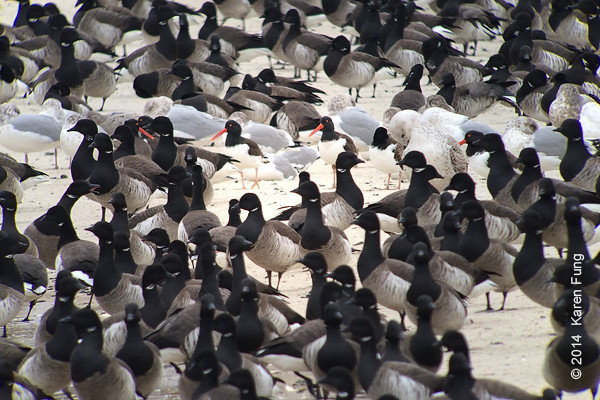 20 Jan: Six American Oystercatchers with Brant at the Jones Beach Coast Guard Station